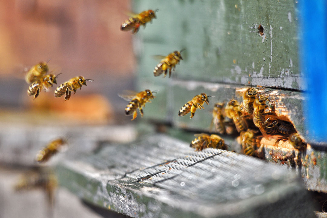 Healthy hooch bees working in their hive
