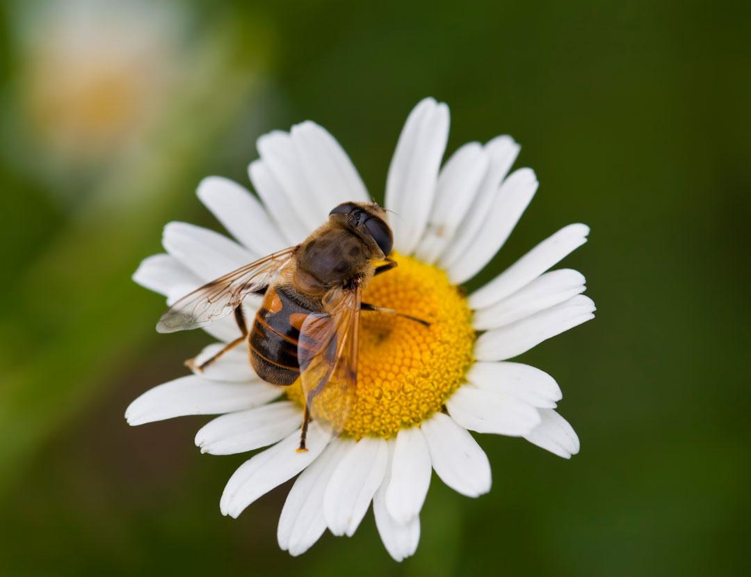 honey bee pollinating a daisy