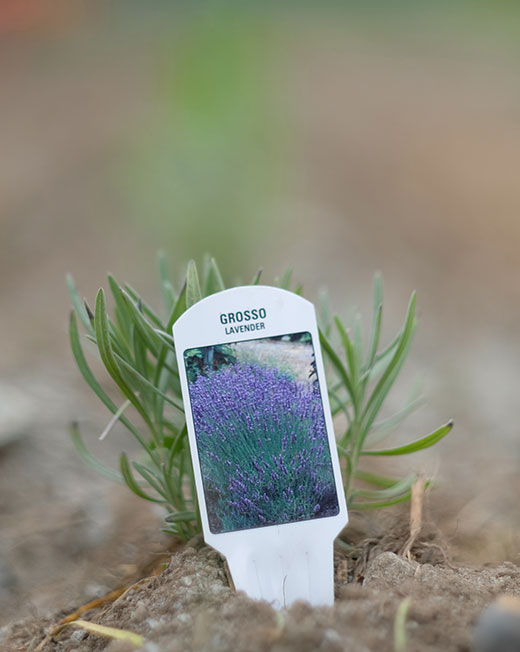 lavender plant with the name tag