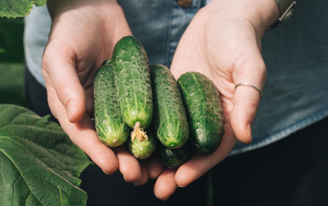 woman's hand holding organic cucumbers