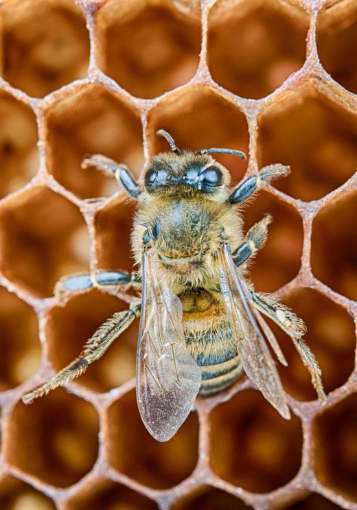 honey bee on honey comb close up